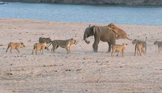 Hercules the Elephant survives attack by 14 Lions - Norman Carr Safaris